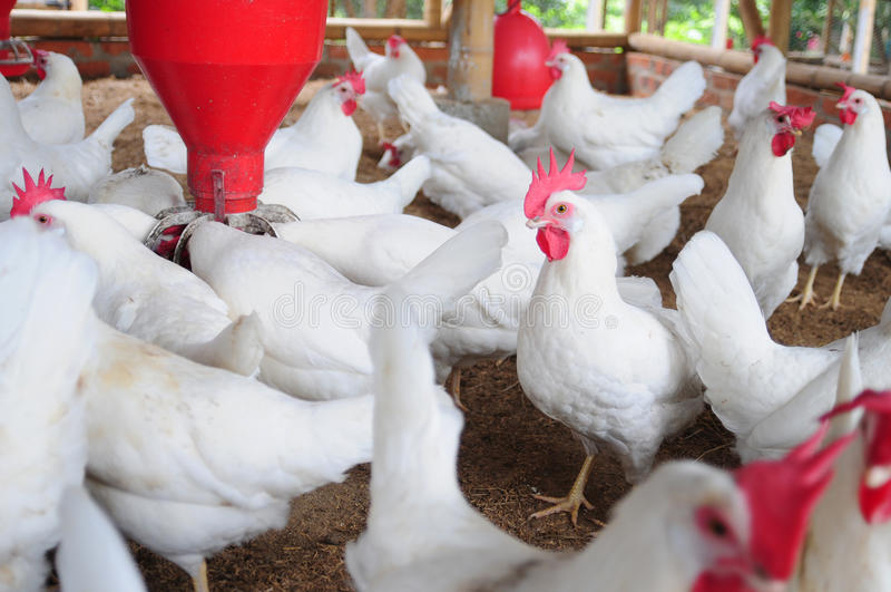 pollame dell'azienda agricola fotografie stock libere da diritti