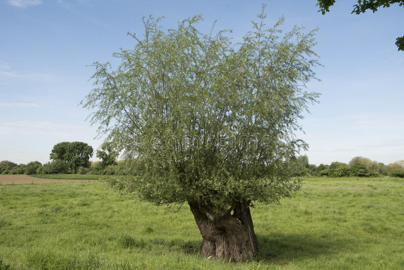 Pollard willow. With hole on trunk on meadow in spring near River Rhine in Germany royalty free stock photos