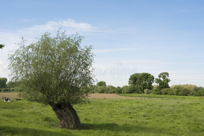 Pollard willow. On meadow in spring near River Rhine in Germany royalty free stock photography