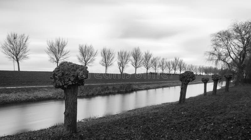 Pollard willows in the polder of Flevoland. In Holland stock photos