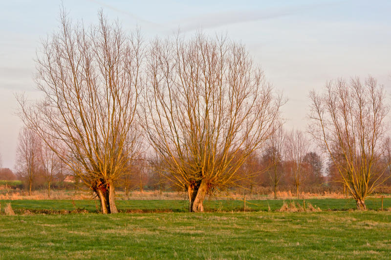 Pollarded willows in the winter sun. Knotted willows in a meadow in winter sun stock photography