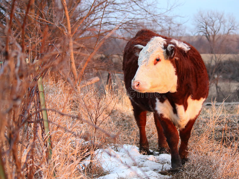 Polled Hereford Heifer. A portrait of a beautiful polled hereford cow royalty free stock image