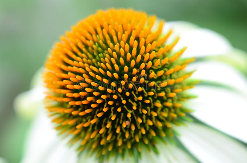 Pollen. Royalty Free Stock Photos