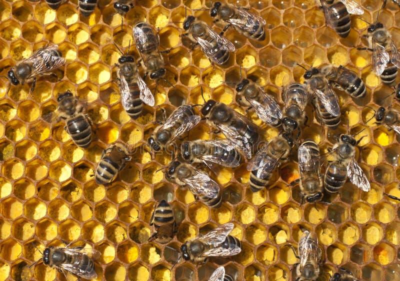 Download Pollen in combs stock photo. Image of health, food, medicine - 28837876