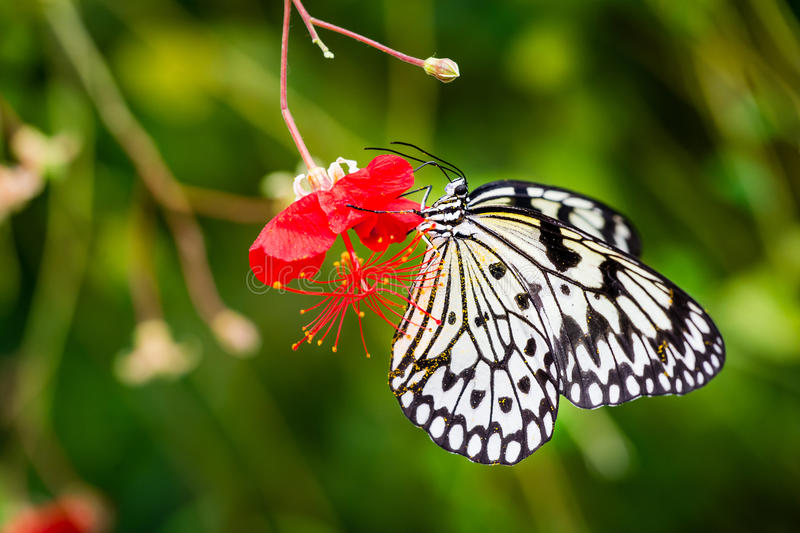 Pollen covered black and white butterfly on red flower royalty free stock images