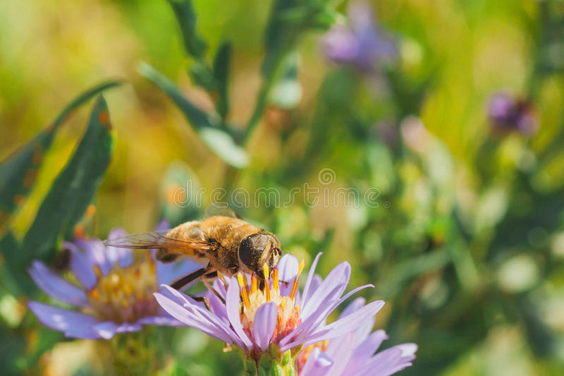 Download Pollen Covered Hoverfly stock photo. Image of brachycera - 59108338