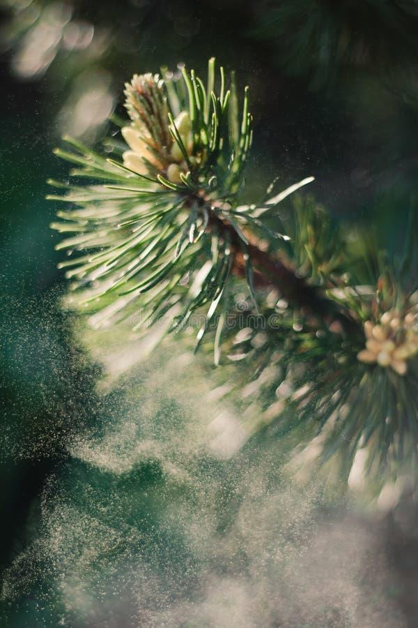 Pollen de pin de montagne photographie stock libre de droits