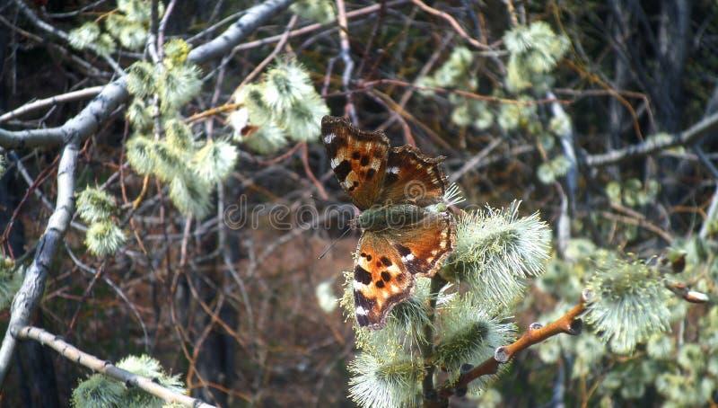 Pollen de ressort image stock
