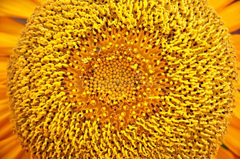Pollen de tournesol images libres de droits