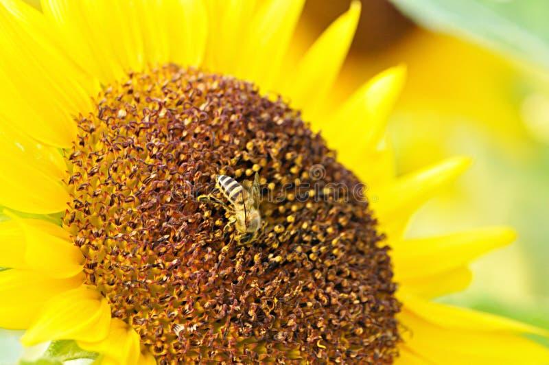 Pollen de tournesol avec une abeille photo stock