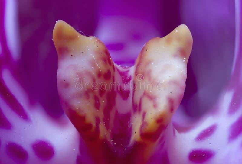Pollen för rosa färger och för guling för kungliga lilor för makro nära övre arkivbilder