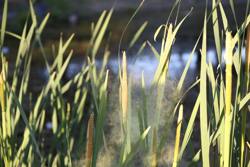 Pollen flies with flowering bulrushes. Nature, park, pond, pollen flies with flowering bulrushes stock photography