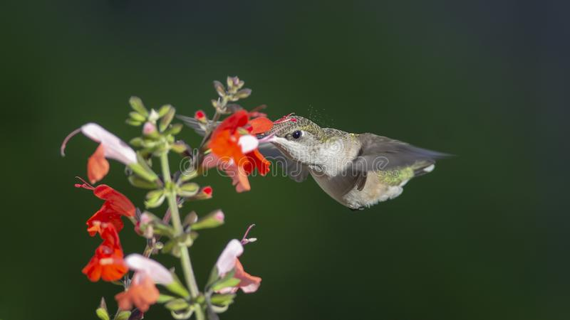 Pollen Flies from Her Crown as She Enters the Flower. Ruby-throated Hummingbird, Archilocus colubris, feeding on red and coral colored Sage. Both are varieties royalty free stock photo