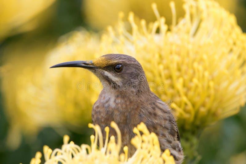 Pollen głowa obrazy royalty free