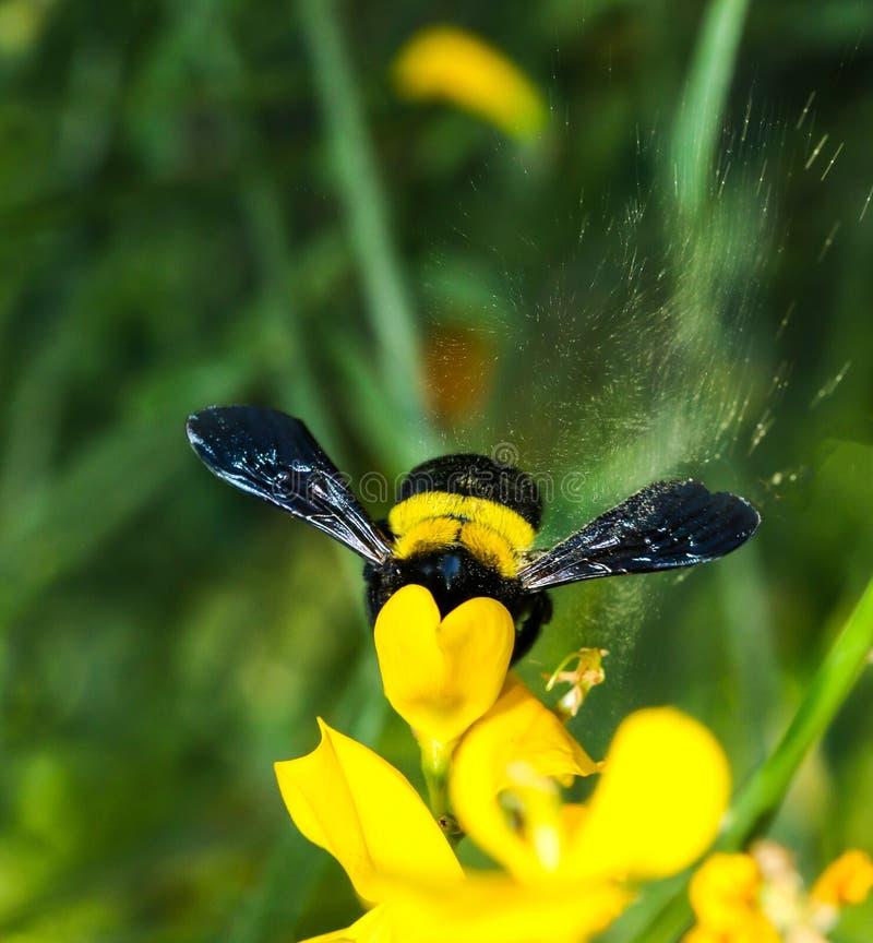 Pollen kiść zdjęcie stock