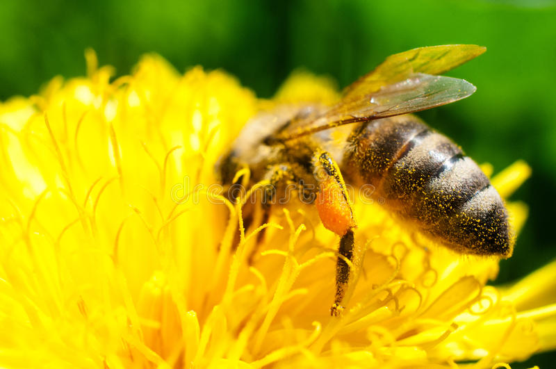 Pollen kosz zdjęcie royalty free