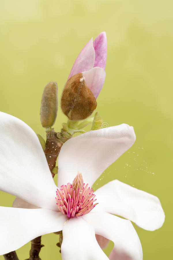 Pollen leaving magnolia flower royalty free stock images