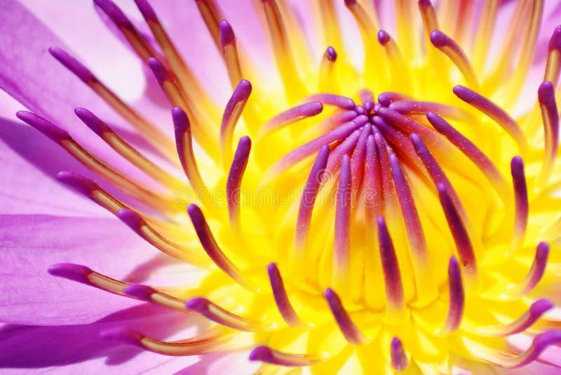 Pollen lotosowego kwiatu tło fotografia stock