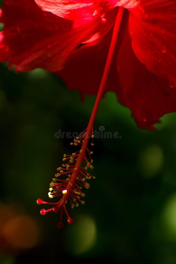 Pollen na badylach trzyma d?ugiego pollen czerwony po?lubnika kwiat zdjęcie royalty free