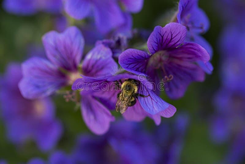 Pollen och nektar för humla blommar annalkande från färgade lilor arkivfoto