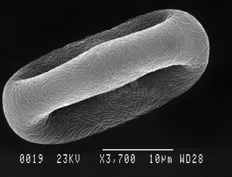 Pollen particle magnified. Cow parsley Anthriscus sylvestris pollen particle magnified under scanning electron microscope SEM royalty free stock photos
