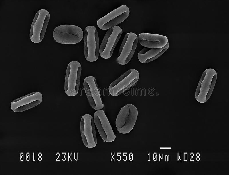 Pollen particles magnified. Many cow parsley Anthriscus sylvestris pollen grains magnified under scanning electron microscope SEM, demonstrating shape at royalty free stock images
