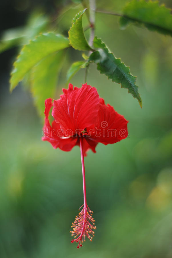 The pollen of red flower. Green leaf stock photography