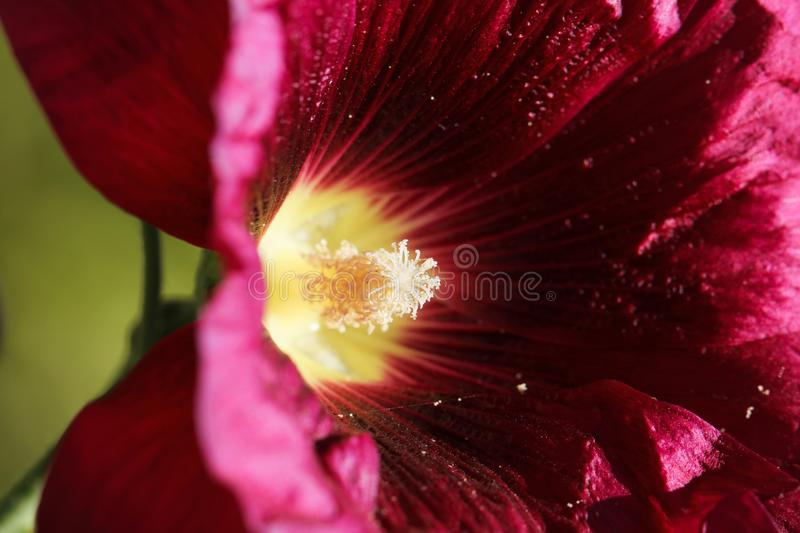 Pollen in a red flower. macro. Pollen in a red flower. In the park in nature stock photo