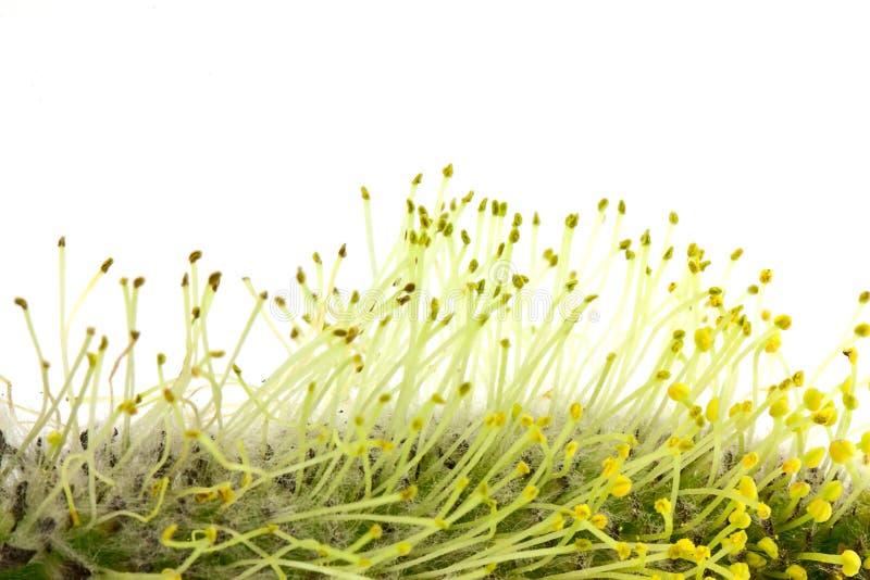 Download Pollen wierzba zdjęcie stock. Obraz złożonej z pollen - 24284120