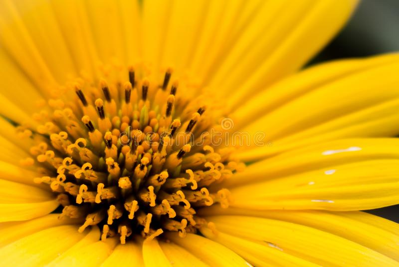 Pollen in a yellow flower stock image