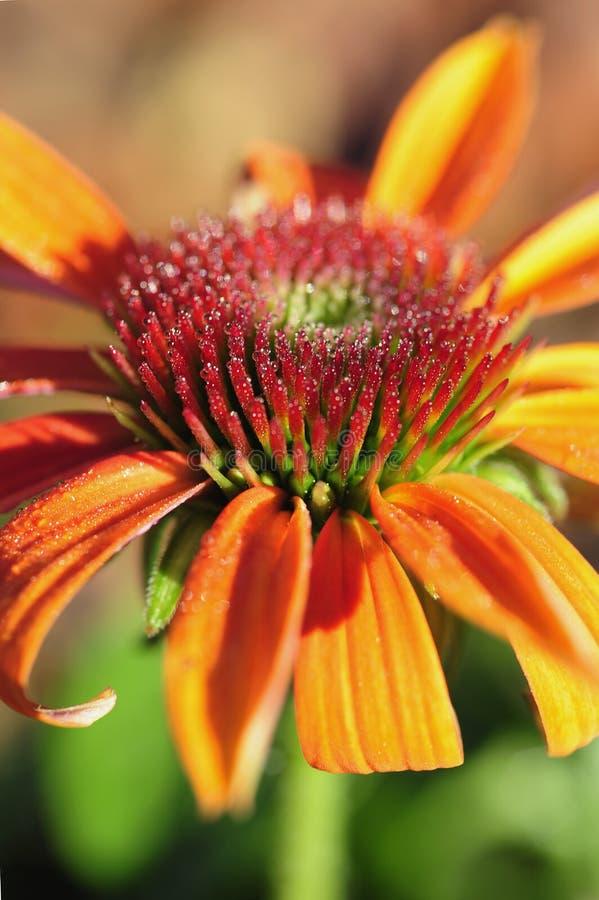 Pollen zakrywa spikey stamen na pomarańczowym Echinacea purpurea zdjęcie royalty free