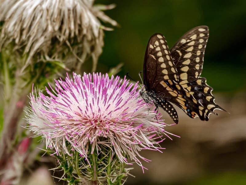 Pollen Zakrywający Czarny Swallowtail motyl obraz royalty free
