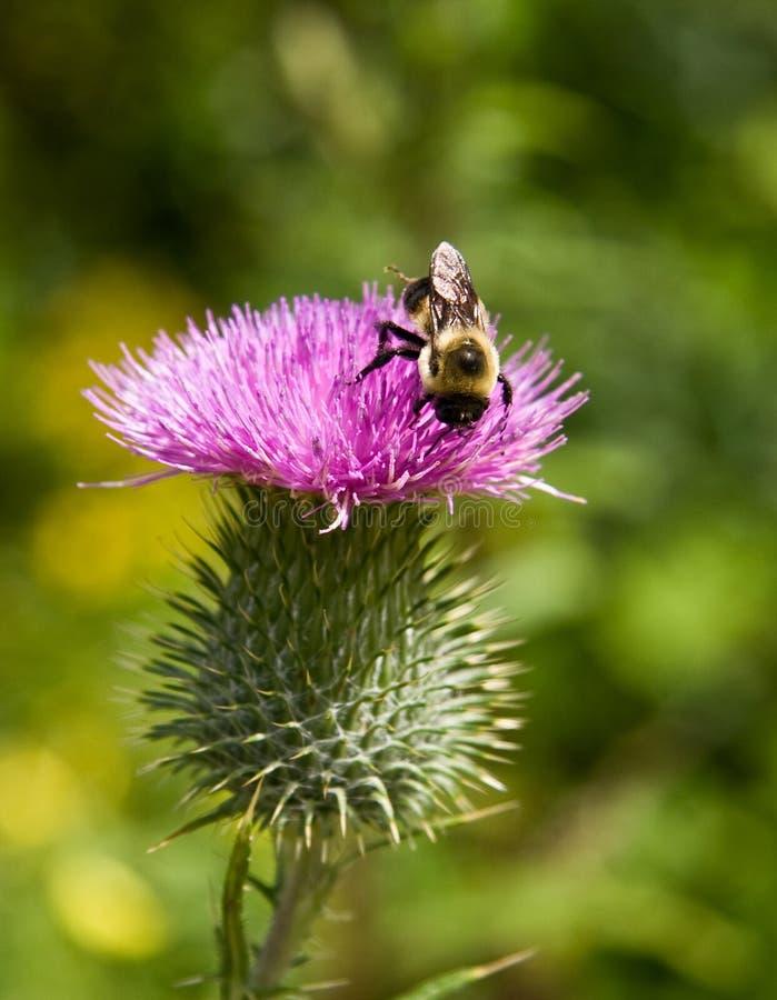 pollenating thistle för biblomma royaltyfri fotografi