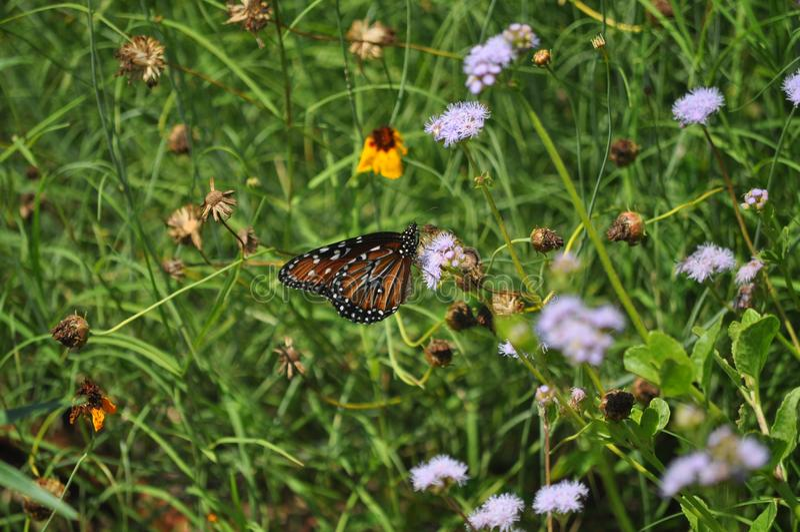 Pollenation par le monarque photo stock