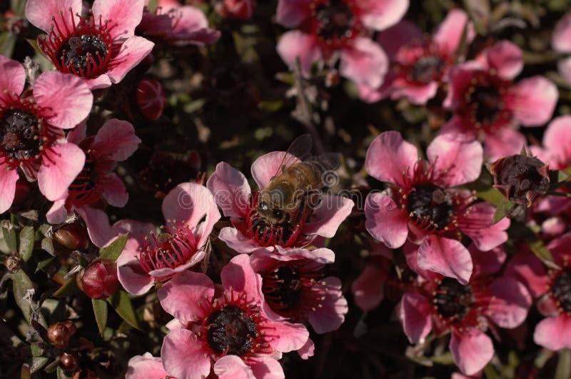Pollenation parmi les fleurs roses macro photographie stock libre de droits
