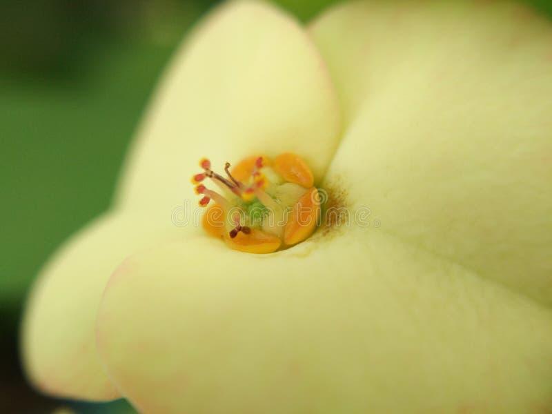 Pollenmitt av den gula blommaEuphorbiamiliien, Kristustagg, krona av taggar royaltyfria bilder