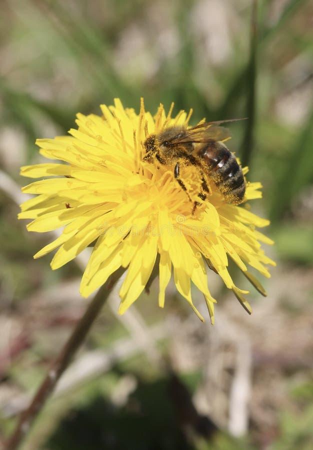 Pollennoja arkivfoto