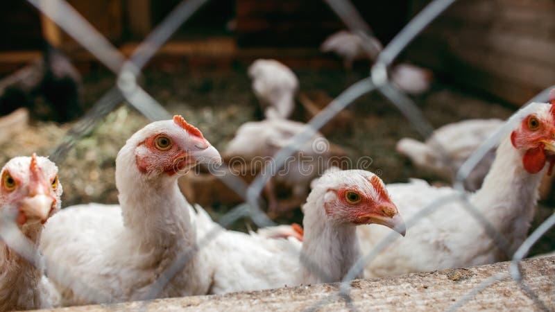 Polli da arrosto del pollo Azienda avicola fotografia stock