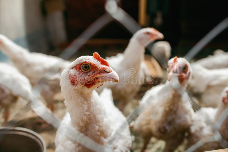 Polli da arrosto del pollo Azienda avicola immagine stock libera da diritti