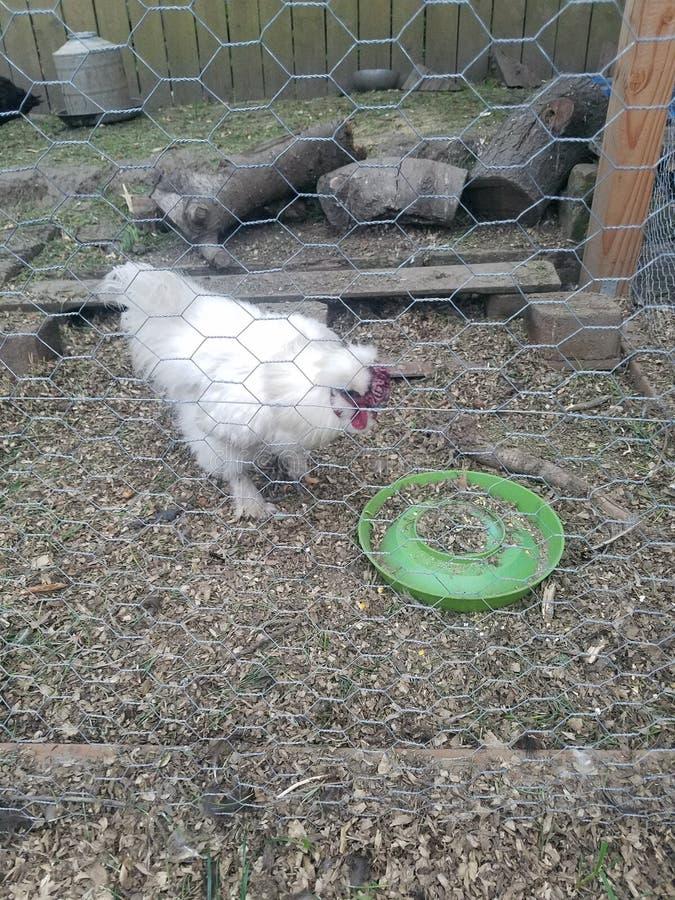 Polli del cortile immagini stock