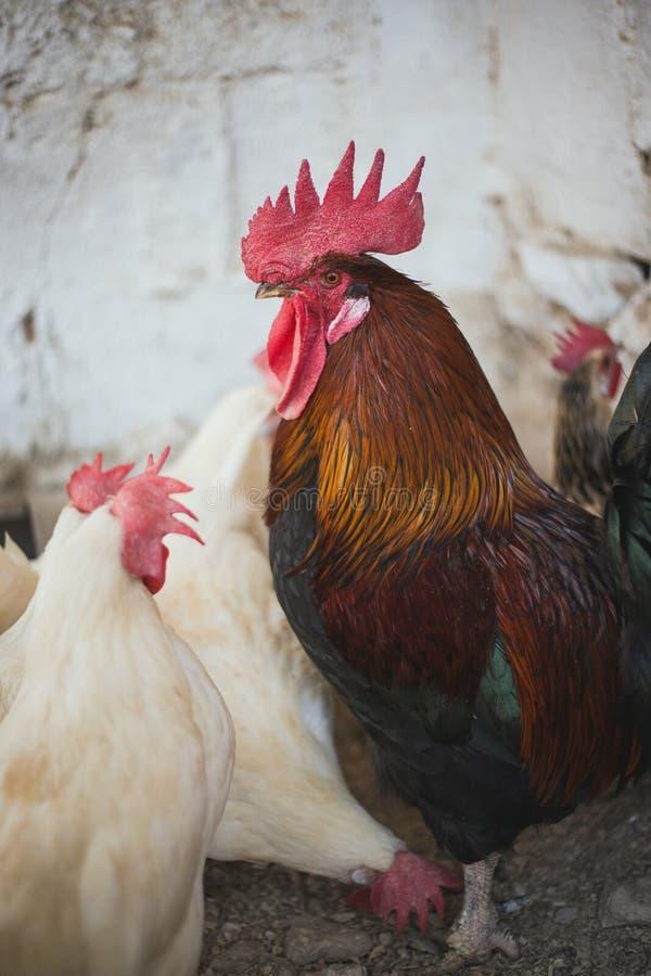 Polli e galli fotografia stock libera da diritti