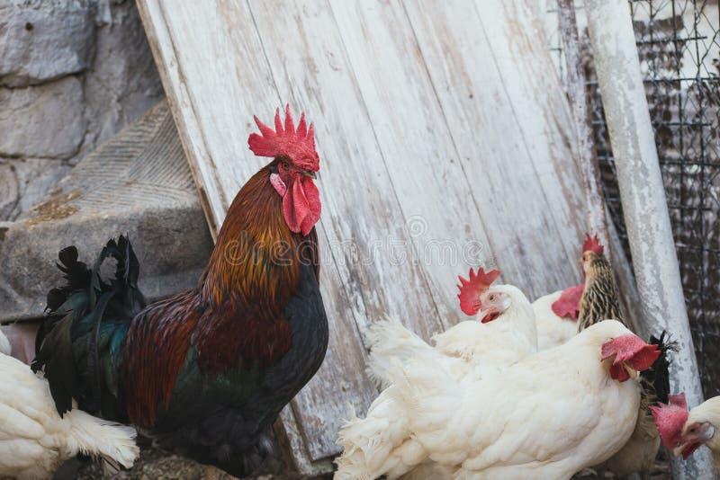 Polli e galli fotografie stock