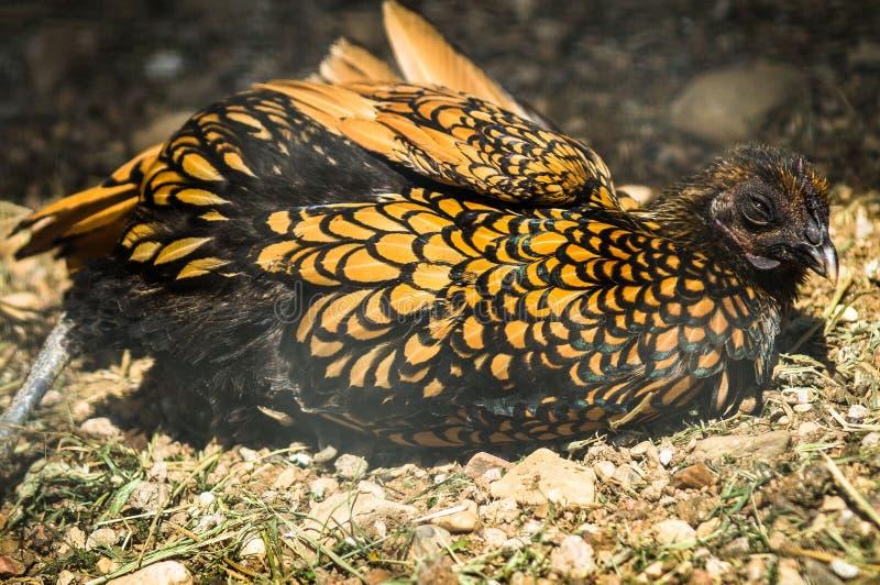 Polli e galli su un'azienda agricola russa fotografie stock