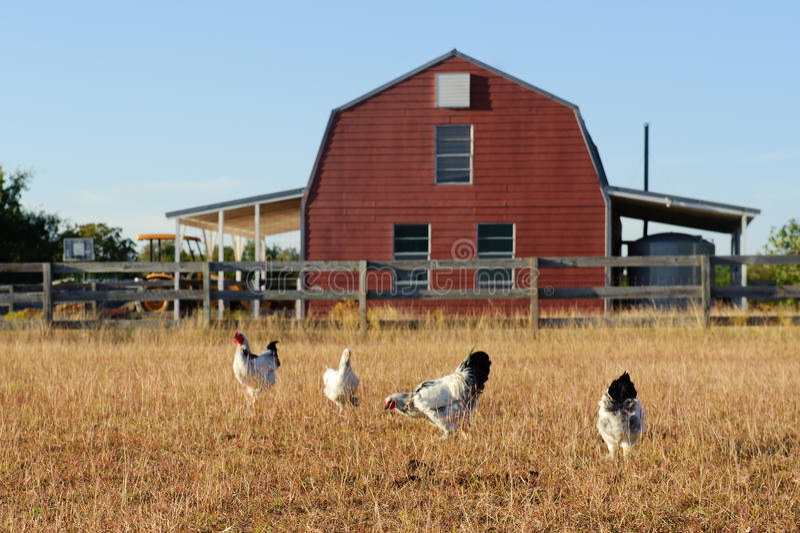 Polli e granaio fotografia stock libera da diritti