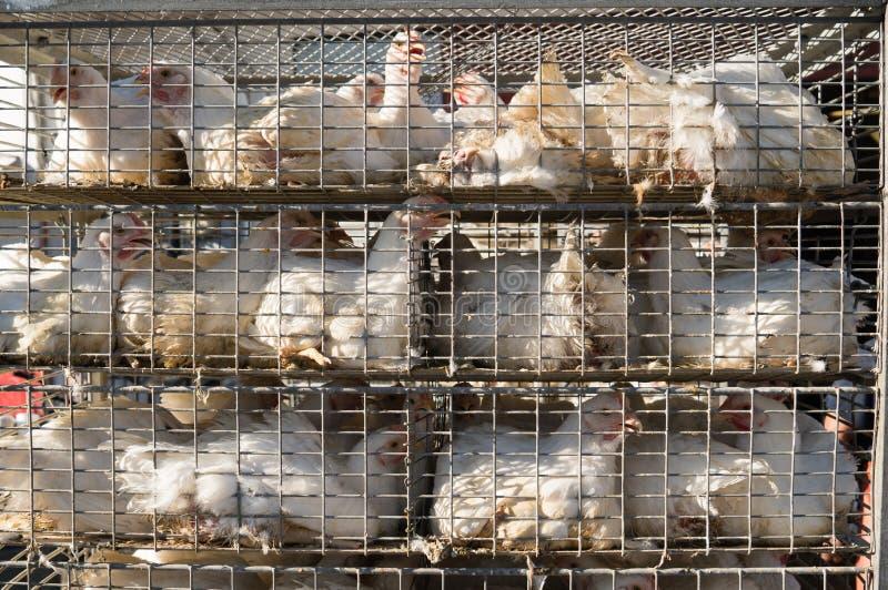 Polli in gabbia che si dirige al macello fotografia stock libera da diritti