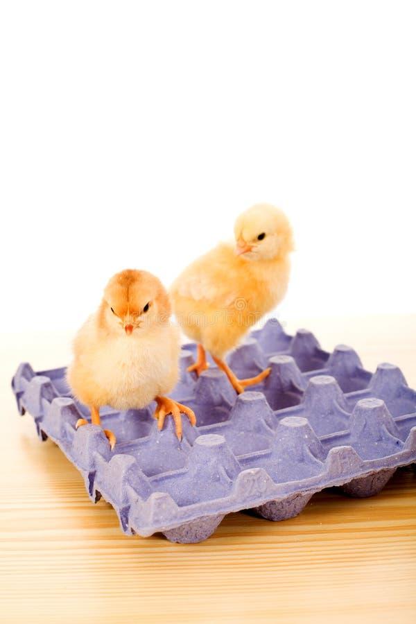 Polli gialli del bambino sulla scatola blu dell'uovo immagine stock
