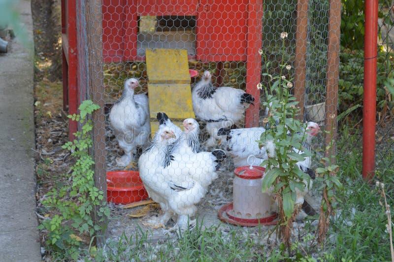 Polli nella gabbia immagine stock