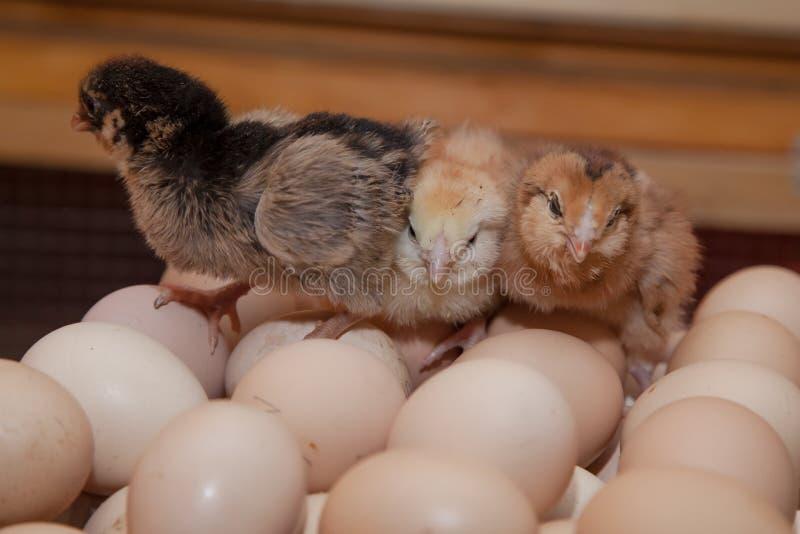 Polli neonati che si siedono sulle uova sull'azienda agricola immagine stock