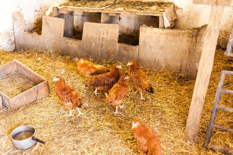 Polli rossi nel granaio con fieno Concetto di produzione alimentare del villaggio con gli animali domestici Polli che mangiano al immagini stock