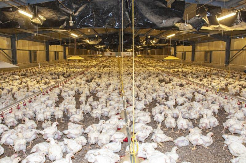 Polli in un granaio di un allevamento di pollame fotografia stock libera da diritti